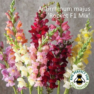 Antirrhinum majus 'Rocket F1 Mix'