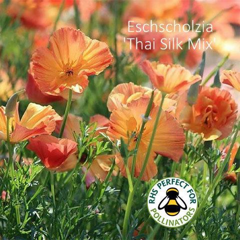 Eschscholzia Thai Silk Mixed 00013