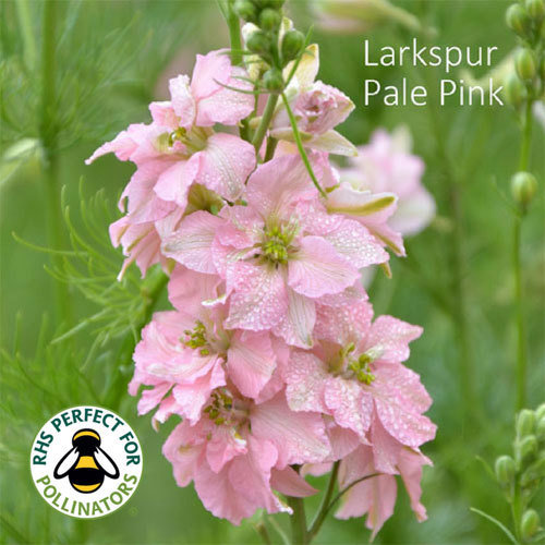 Larkspur 'Light Pink' 00270