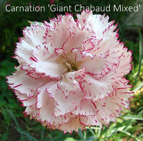 Dianthus 'Giant Chabaud Mixed'