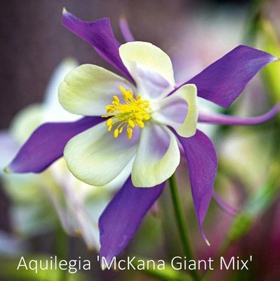 Aquilegia 'McKana Giant Mix''