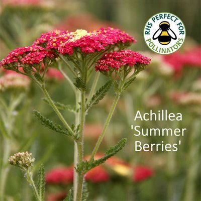 Achillea millefolium 'Summer Berries'