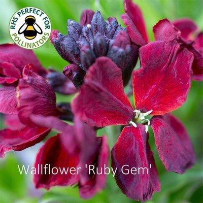 Wallflower 'Ruby Gem'
