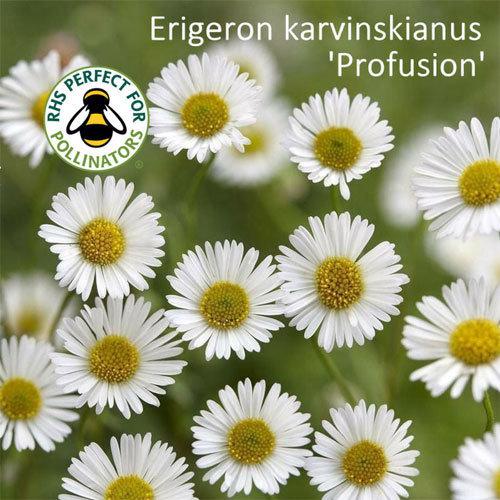 Erigeron karvinskianus 'Profusion' 00296