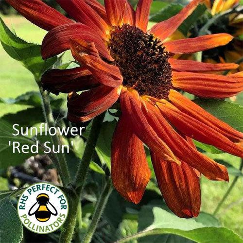 Helianthus 'Red Sun' 00303