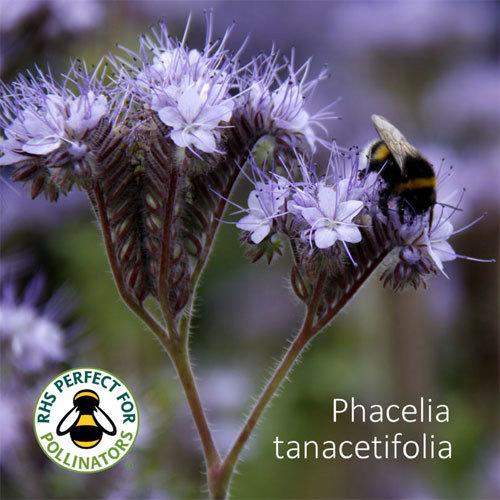 Phacelia tanacetifolia 00309