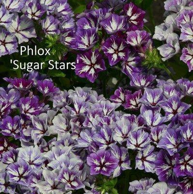 Phlox drummondii Sugar Stars
