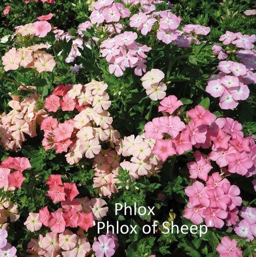 Phlox 'Phlox of Sheep' 00312