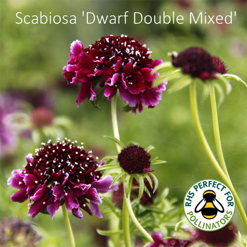 Scabiosa 'Dwarf Double Mixed' 00313