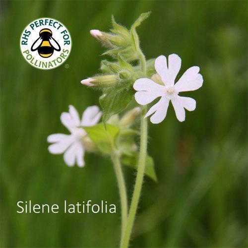 Silene latifolia 00315