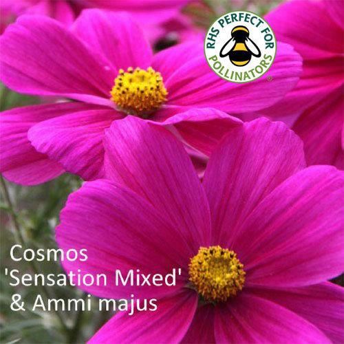 Cosmos 'Sensation' & Ammi majus 00172