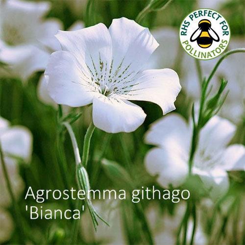 Agrostemma githago 'Bianca' 00292