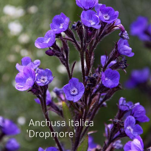 Anchusa italica 'Dropmore' 00319