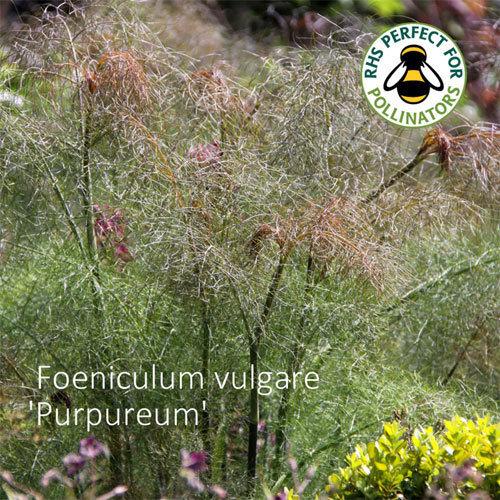 Foeniculum vulgare 'Purpureum' 00324