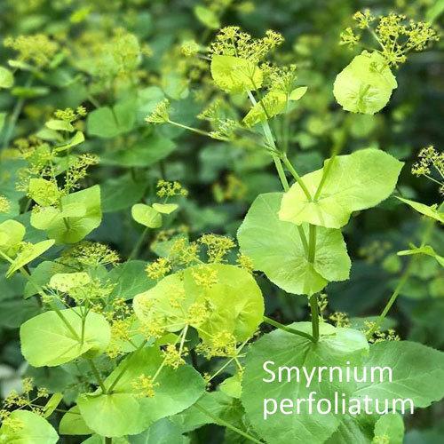 Smyrnium perfoliatum 00325