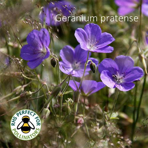 Geranium pratense 00332