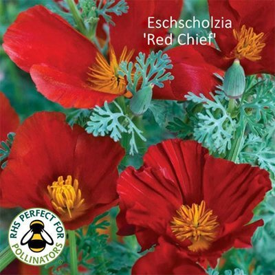 Eschscholzia californica 'Red Chief'