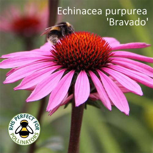 Echinacea purpurea 'Bravado'