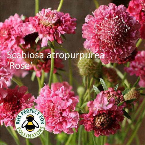 Ammi majus & Scabiosa 'Rose' 00168
