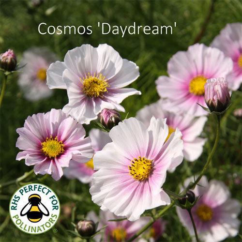 Cosmos bipinnatus 'Daydream'
