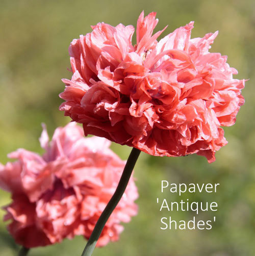 Papaver somniferum var paeoniflorum 'Antique Shades'
