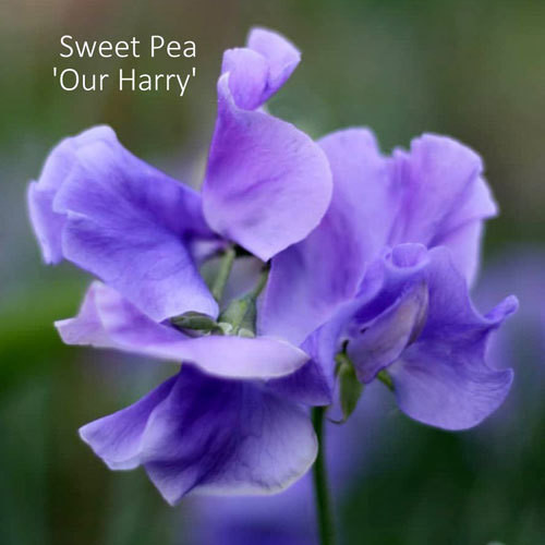 Sweet Pea 'Our Harry'