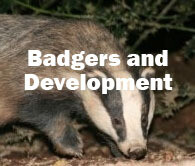 Badgers and Development (Exeter): 3rd November 2020