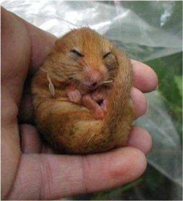 Dormouse Course (Exeter)- ecology, surveying and dormice and development: 16th - 17th September 2019