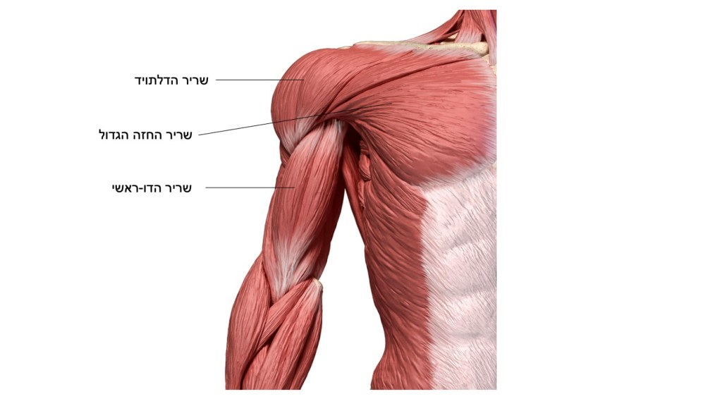 שריר הדלתויד, שרירי החזה הגדול, השרירי הדו ראשי