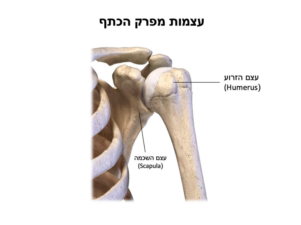 עצמות מפרק הכתף