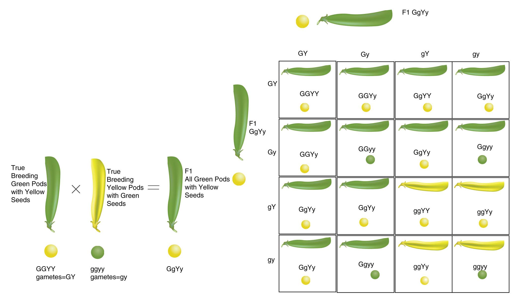 Pedigree Traits 2 Chart