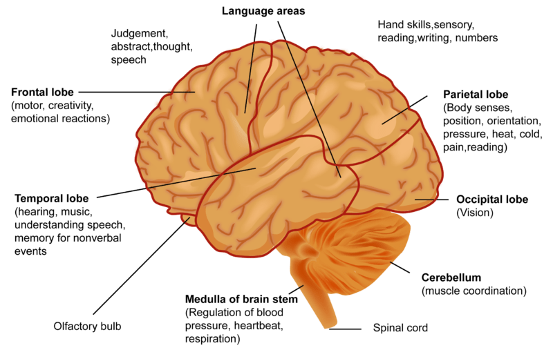 The Brain Labeled Diagram Of Muscles Of The Cerebellum