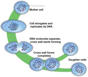 Asexual vs Sexual Reproduction | CK12 Foundation