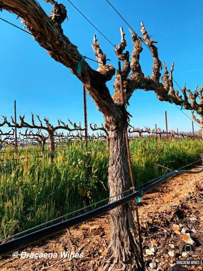 vineyard in March