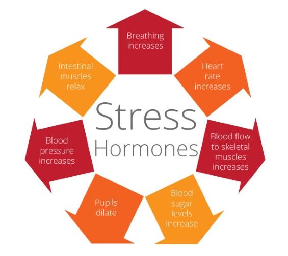 Stress-Hormones
