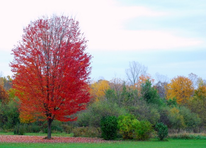 red maple tree 2