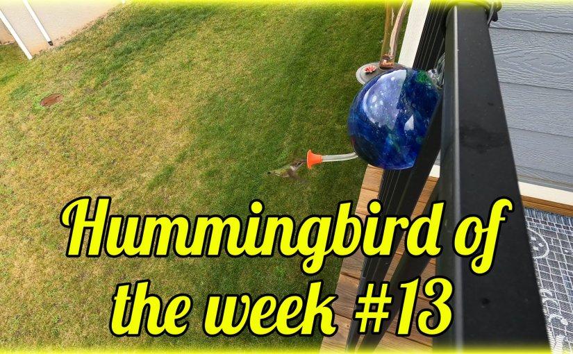 Hummingbird of the week #13