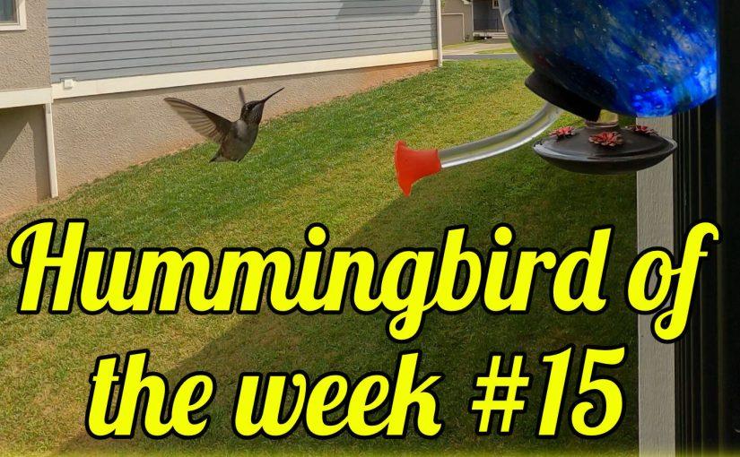 Hummingbird of the week #15