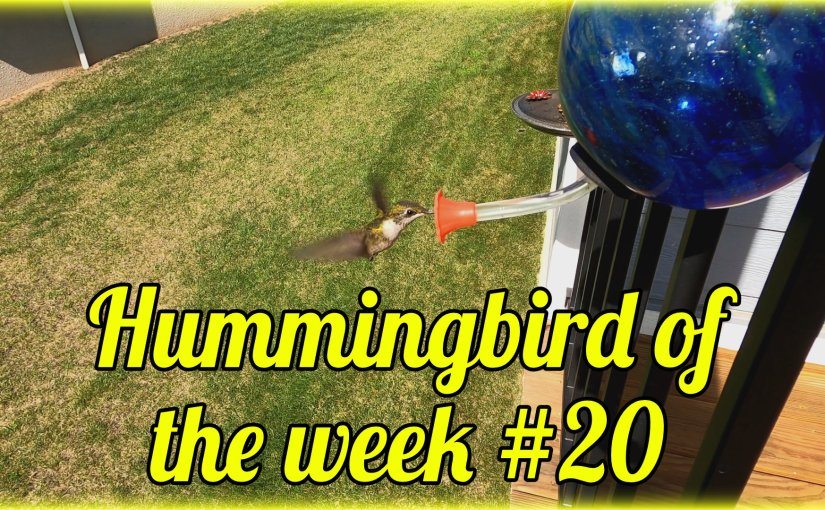 Hummingbird of the week #20