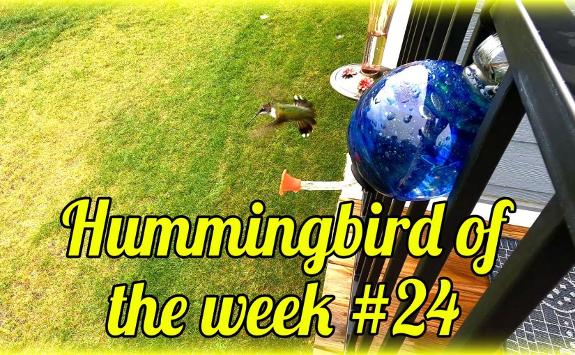 Hummingbird of the week #24