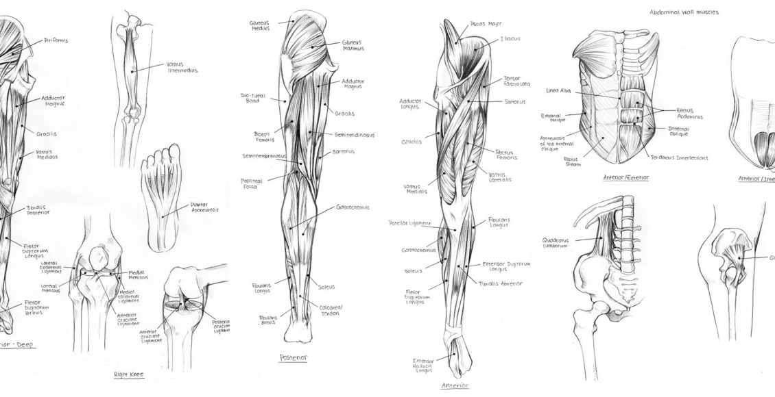 a diagram of muscles in the body muscles of the body diagram without labels.jpg