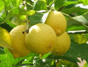 Lemons from the island of Aegina in Greece