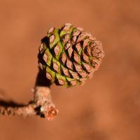 The pine cone symbol