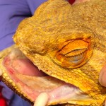 Dental Disease in Bearded Dragons
