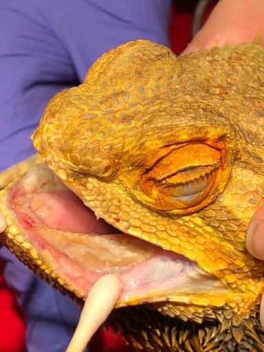 Bearded Dragon Periodontal Disease