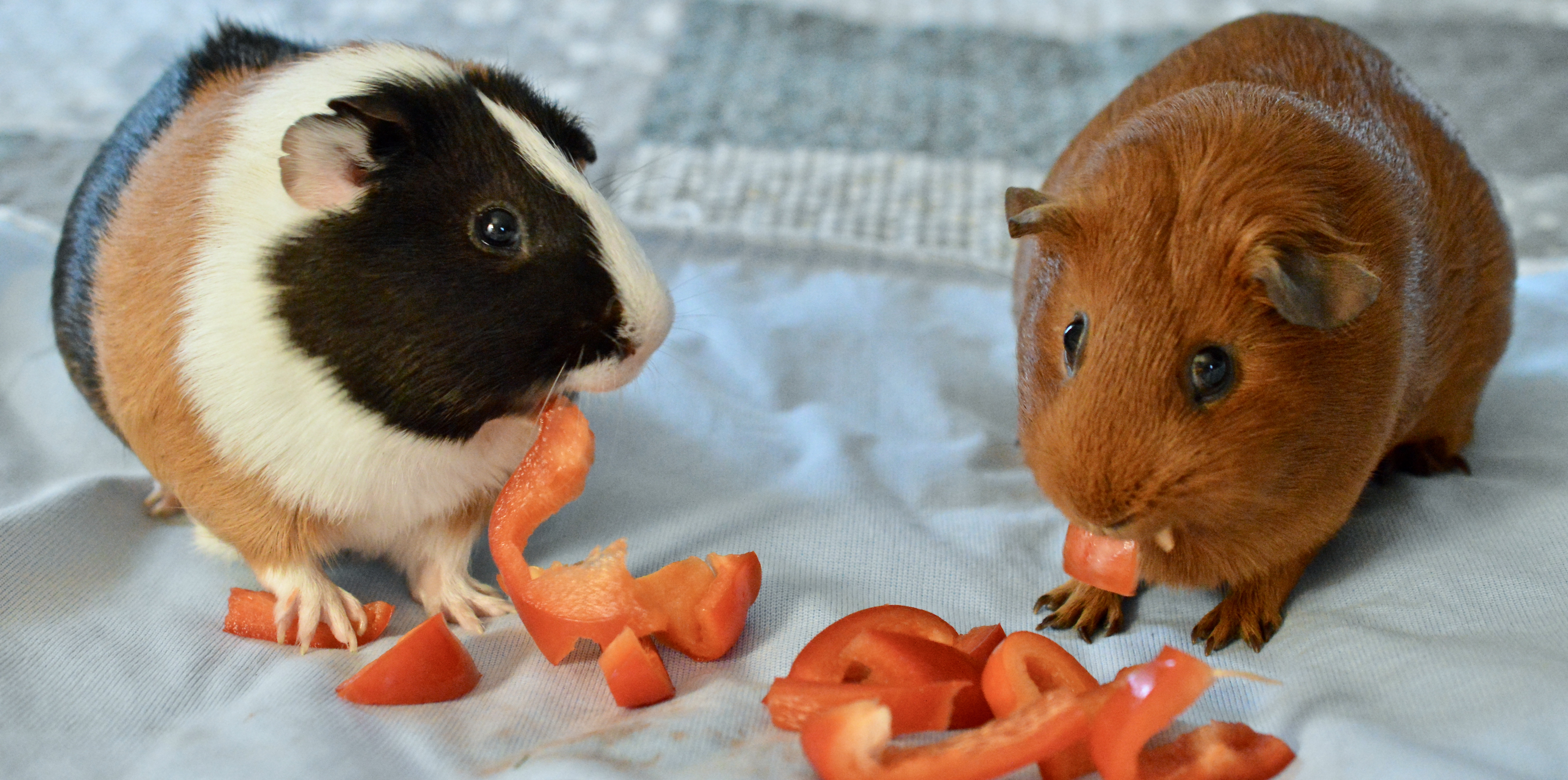 Read more about the article Vitamin C Deficiency in Guinea pigs – they need Vitamin C too!