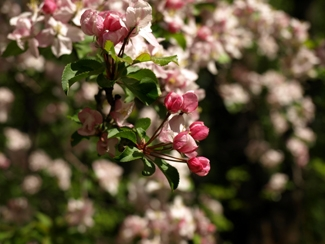 American Crab Apple blossoms - beautiful and good for the nutritarian in you! From Willis Orchards.