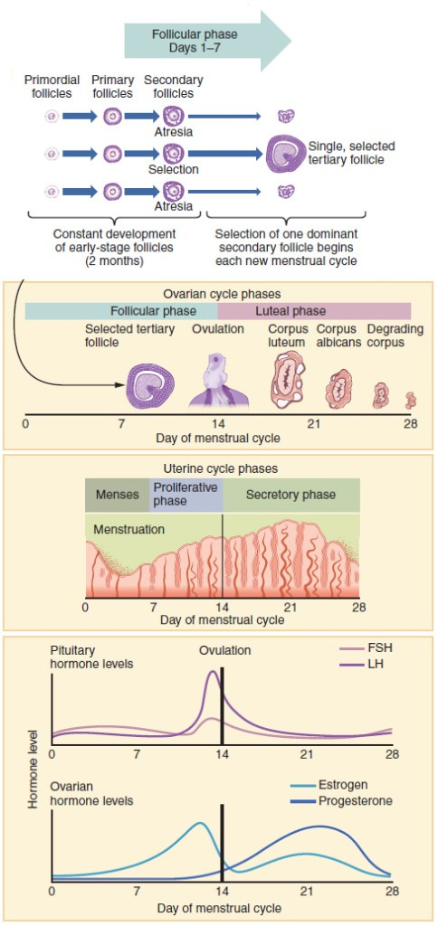 Natural fertility and your monthly cycle - Look how much your body does every month!