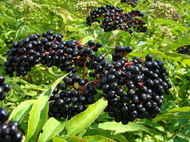 Elderberry syrup is a great natural remedy for cold and flu. Picture by Edal Anton Lefterov from wikipedia.
