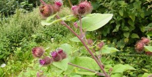 Arctium-minor-lesser burdockDSCF7292
